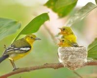 Общее tiphia Iora Aegithina подавая свои маленькие птицы в природе Стоковые Изображения RF