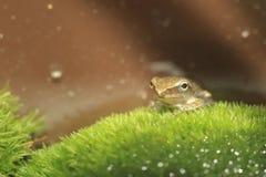 Общее treefrog Стоковые Изображения RF