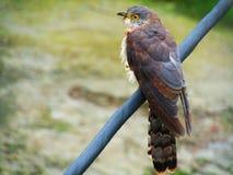 Общее varius Hierococcyx хоук-кукушки, популярно известное как птица brainfever, среднего размера кукушка стоковые фотографии rf