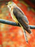 Общее varius Hierococcyx хоук-кукушки, популярно известное как птица brainfever, среднего размера кукушка стоковое фото rf