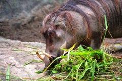 общее warthog стоковое фото rf