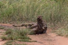 Общее warthog & x28; Africanus& x29 Phacochoerus; Стоковые Фотографии RF