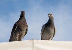Общие голуби Стоковое Изображение