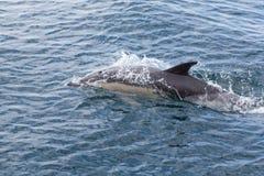Общие дельфины плавая Стоковые Изображения RF