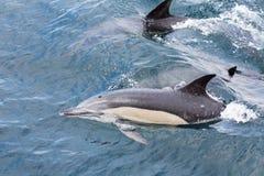 Общие дельфины плавая Стоковое Фото