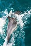 Общие дельфины плавая Стоковые Изображения