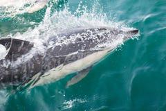 Общие дельфины плавая Стоковое фото RF