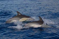 общие дельфины Стоковая Фотография RF