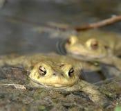 Общие жабы в пруде Стоковое Изображение