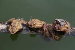 общие жабы Стоковое Изображение RF