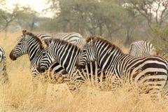 Общие зебры в саванне Стоковое Изображение RF