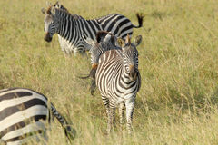 Общие зебры в Serengeti Стоковое Фото