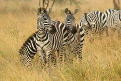 Общие зебры пася в саванне Стоковое Изображение