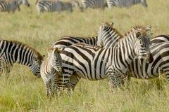 Общие зебры с младенцем Стоковое фото RF