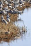Общие краны на поле на озере Стоковая Фотография