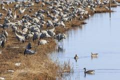 Общие краны на поле на озере Стоковые Изображения