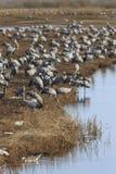 Общие краны на поле на озере Стоковая Фотография RF