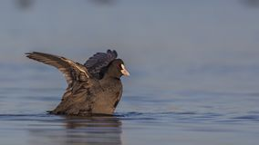 Общие крыла flapping простофили Стоковое фото RF