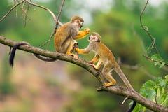 Общие обезьяны белки играя на ветви дерева Стоковое Фото