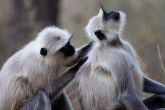 общие обезьяны langur холить Стоковое фото RF