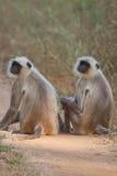 общие обезьяны langur Стоковые Фотографии RF