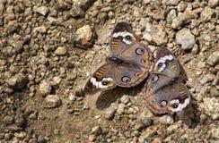 Общие пары бабочки конского каштана на пути Стоковое фото RF