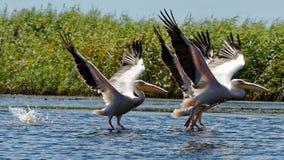 Общие пеликаны на Дунае стоковая фотография rf