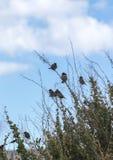 Общие птицы воробья дома на кустарнике стоковые фотографии rf