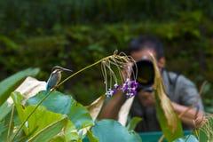 Общие птицы Kingfisher Стоковые Изображения RF