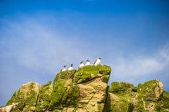 Общие птицы Murre сидя на труднопоступных утесах, Канаде Стоковые Фотографии RF
