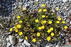 Общие розы утеса (Helianthemum Nummularium) Стоковая Фотография RF