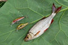 Общие рыбы rudd и удя приманки на естественной предпосылке Стоковые Фотографии RF