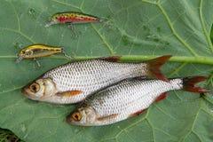 Общие рыбы rudd и удя приманки на естественной предпосылке Стоковое Изображение