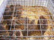 Общие триперстки в клетке на рынке фермеров, гонка для яичек и мясо, темный одичалый цвет Стоковые Изображения