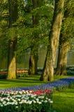 общие тюльпаны виноградного гиацинта Стоковые Фотографии RF