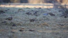 Общие фазаны есть семена видеоматериал