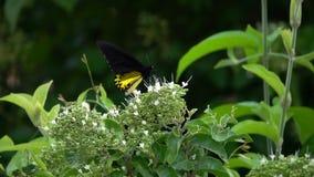 Общие birdwing troides helena бабочки собирая нектар от цветков акции видеоматериалы