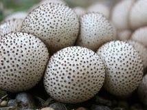 Общие Puffballs - perlatum Lycoperdon Стоковые Изображения RF