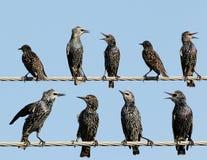 Общие starlings на взгляде электрического провода необыкновенном Стоковое фото RF