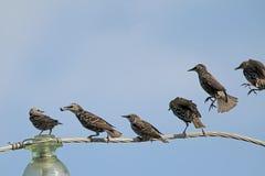 Общие starlings на взгляде электрического провода необыкновенном Стоковое Изображение RF