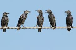 Общие starlings на электрическом проводе Стоковые Изображения RF