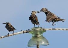 Общие starlings на viewThree электрического провода необыкновенном Стоковые Изображения