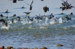 Общие Teals на озере Randarda, Rajkot, Гуджарате Стоковое Изображение RF
