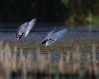 общие terns грудин hirundo полета Стоковое фото RF