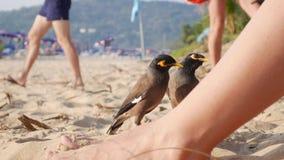 Общие tristis Myna или Acridotheres ждать еду от туристов на пляже в Таиланде closeup 4K акции видеоматериалы