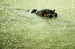 Общий бегемот, или lat гиппопотама Amphibius бегемота млекопитающее от заказа колоть-копытного Стоковое фото RF