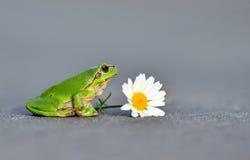 общий вал лягушки Стоковая Фотография RF