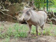 Общий взгляд крупного плана warthog стоковая фотография rf