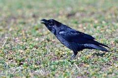 Общий ворон весной Стоковые Фотографии RF