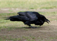 Общий ворон - corax Corvus Стоковая Фотография